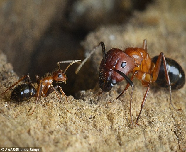 University of Pennsylvania scientists reprogram the brains of ants to change …